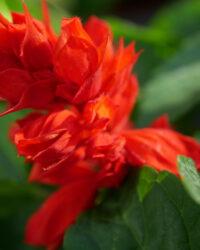Salvia spledens